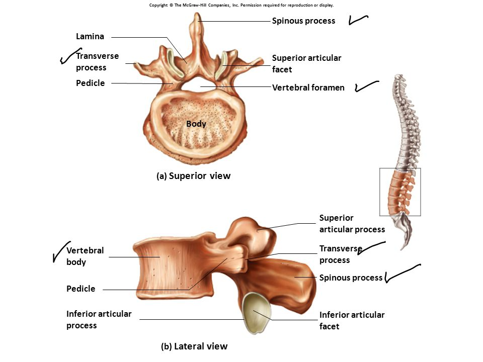 Spinous process Lamina Transverse Superior articular process facet