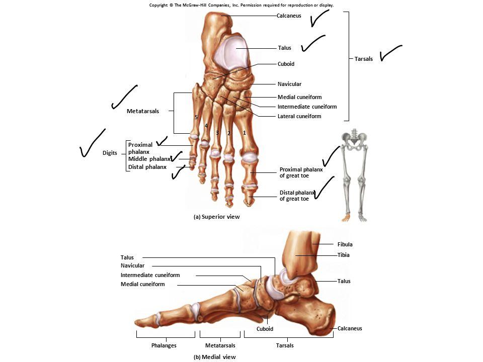 Tarsals Metatarsals Proximal phalanx Middle phalanx Distal phalanx