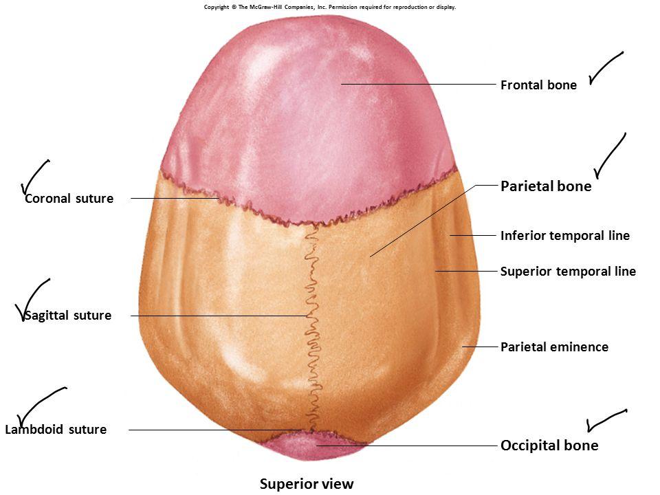 Parietal bone Occipital bone Superior view Frontal bone Coronal suture