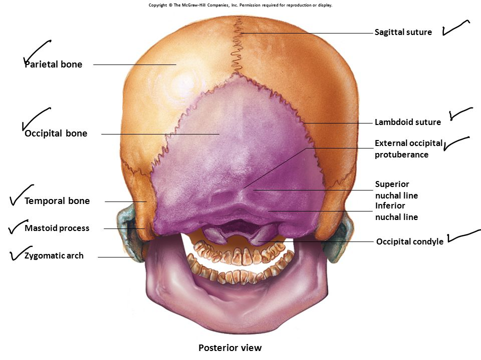 Parietal bone Occipital bone Temporal bone Posterior view