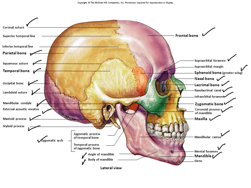 Sphenoid bone (greater wing) Nasal bone