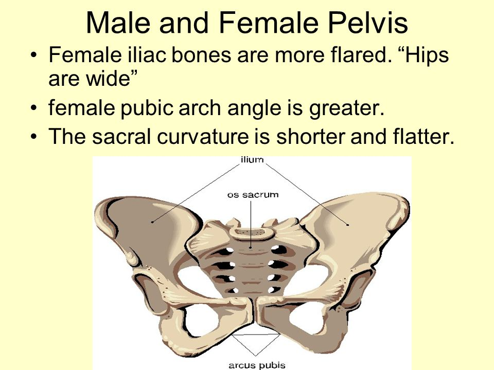 Male and Female Pelvis Female iliac bones are more flared. Hips are wide female pubic arch angle is greater.