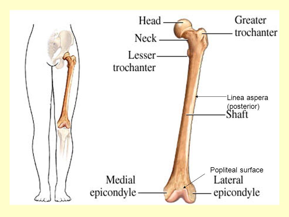 Linea aspera (posterior)