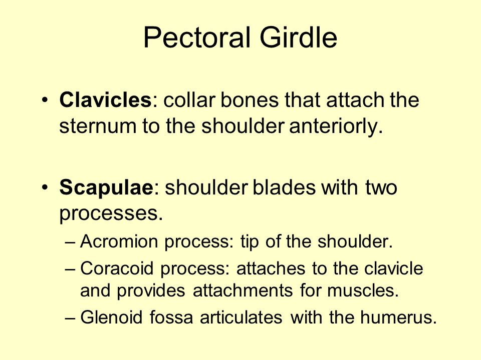 Pectoral Girdle Clavicles: collar bones that attach the sternum to the shoulder anteriorly. Scapulae: shoulder blades with two processes.