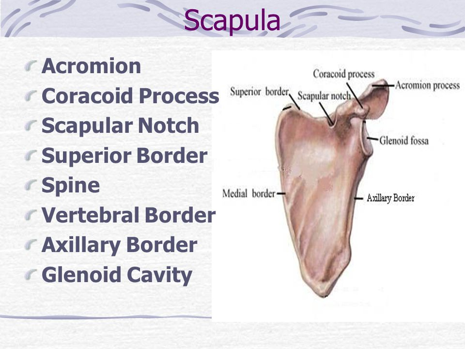 Scapula Acromion Coracoid Process Scapular Notch Superior Border Spine