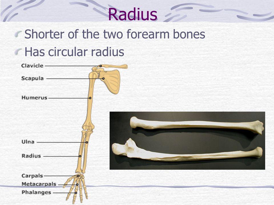 Radius Shorter of the two forearm bones Has circular radius