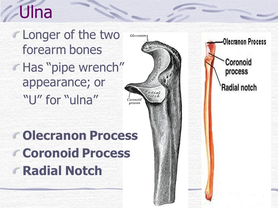 Ulna Longer of the two forearm bones Has pipe wrench appearance; or