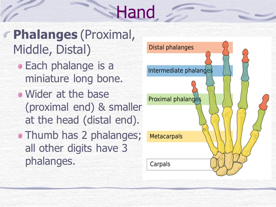 Hand Phalanges (Proximal, Middle, Distal)