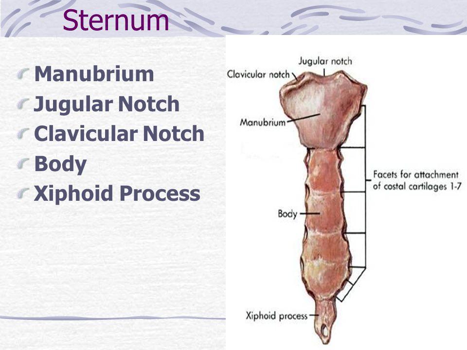 Sternum Manubrium Jugular Notch Clavicular Notch Body Xiphoid Process