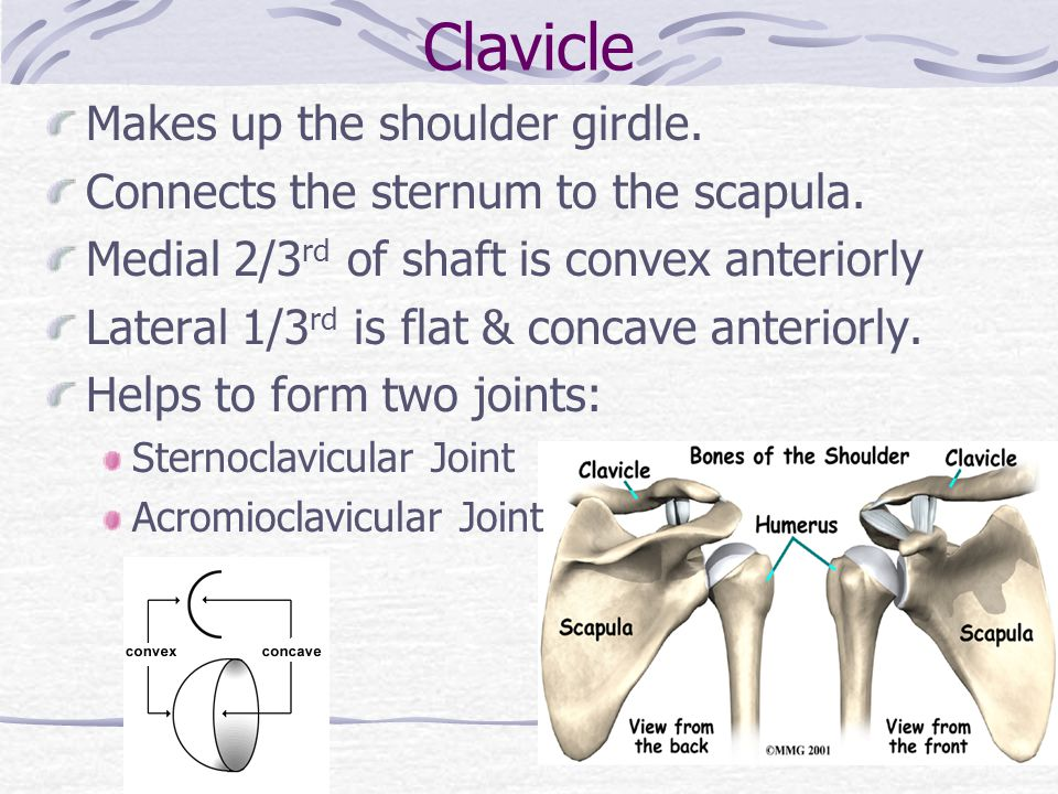 Clavicle Makes up the shoulder girdle.
