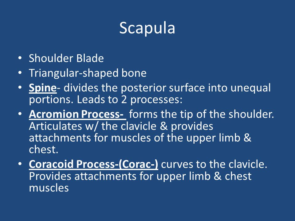 Scapula Shoulder Blade Triangular-shaped bone