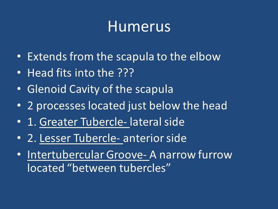 Humerus Extends from the scapula to the elbow Head fits into the