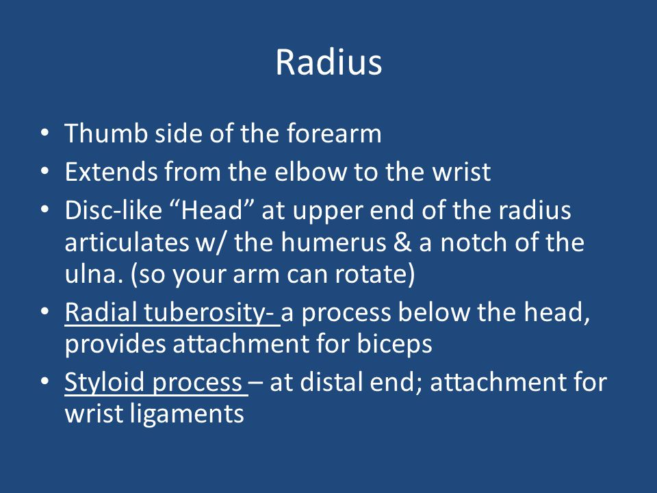 Radius Thumb side of the forearm Extends from the elbow to the wrist