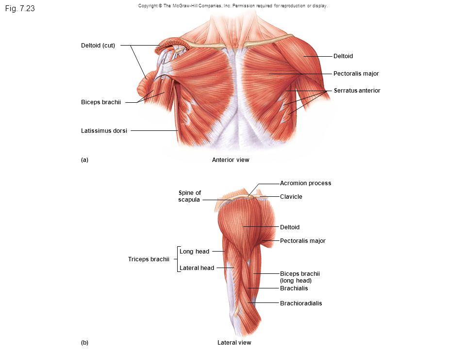 Fig. 7.23 Deltoid (cut) Deltoid Pectoralis major Serratus anterior