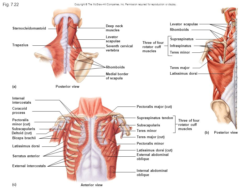 Fig. 7.22 Levator scapulae Deep neck muscles Sternocleidomastoid