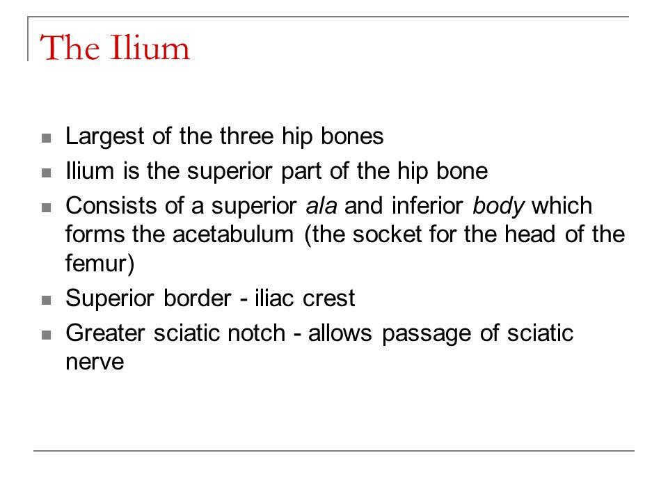 The Ilium Largest of the three hip bones