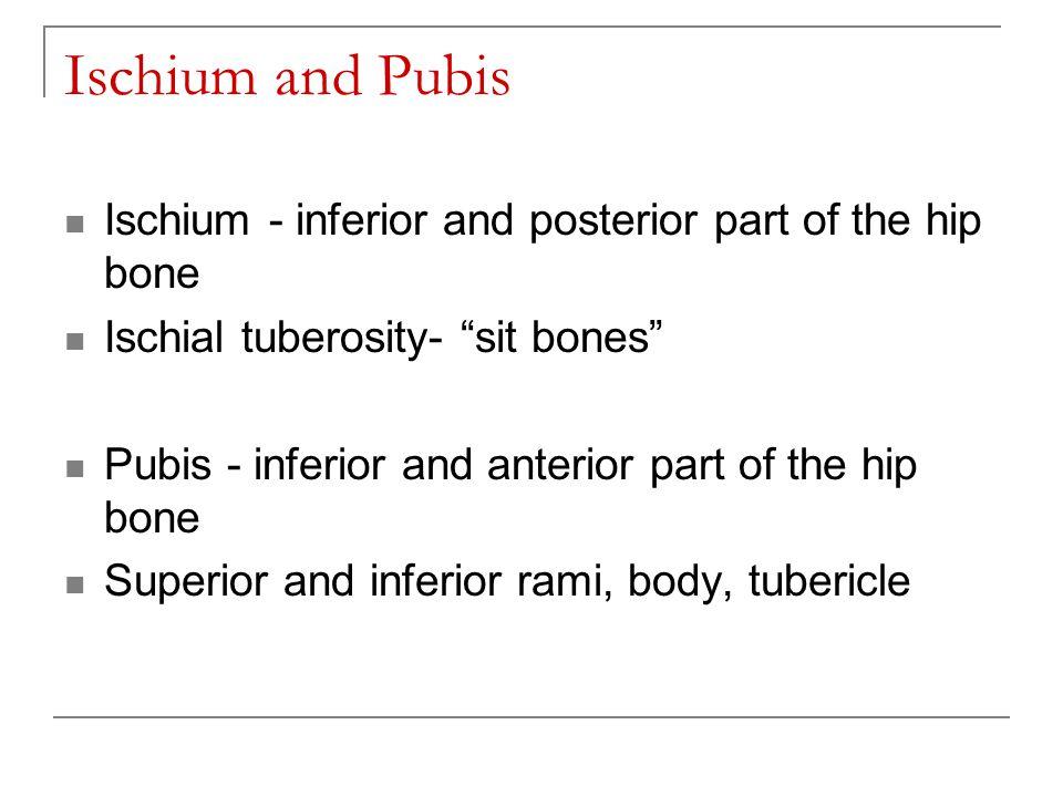 Ischium and Pubis Ischium - inferior and posterior part of the hip bone. Ischial tuberosity- sit bones