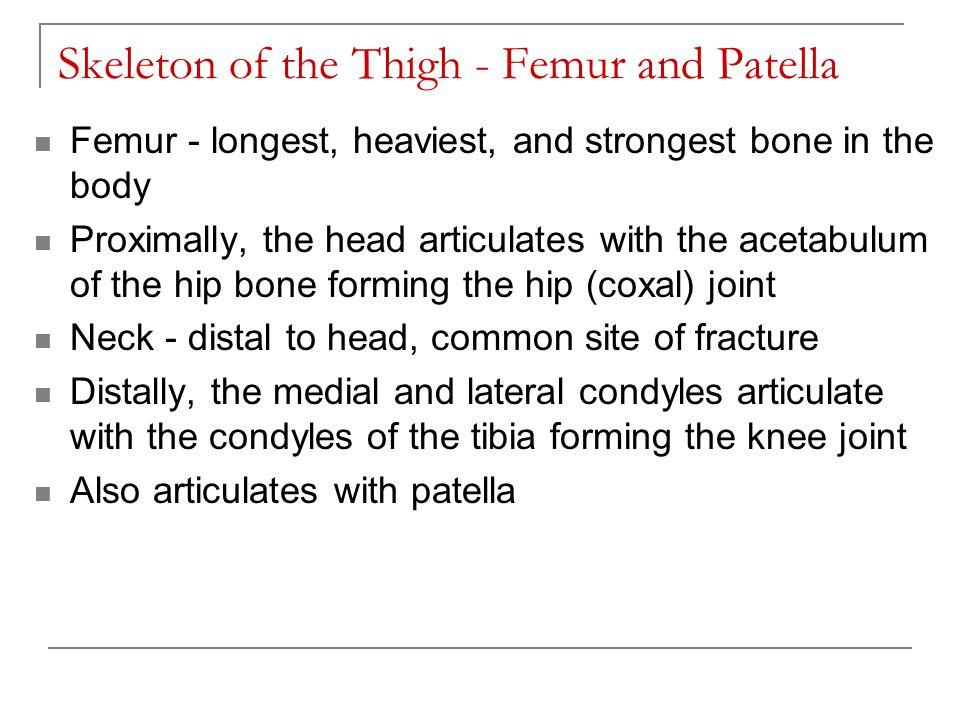 Skeleton of the Thigh - Femur and Patella