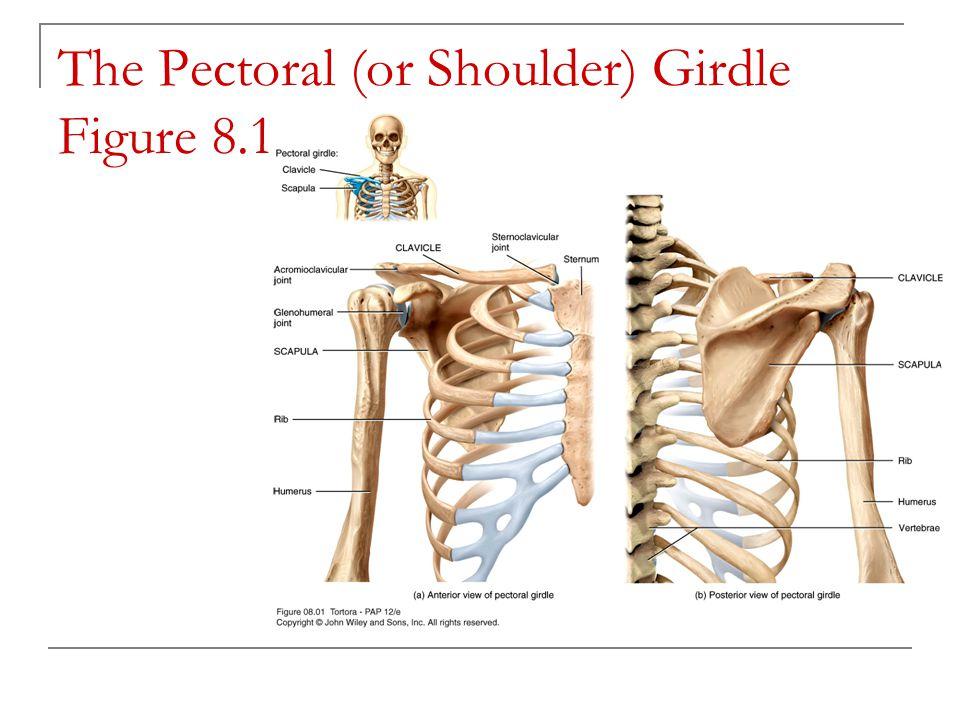 The Pectoral (or Shoulder) Girdle Figure 8.1
