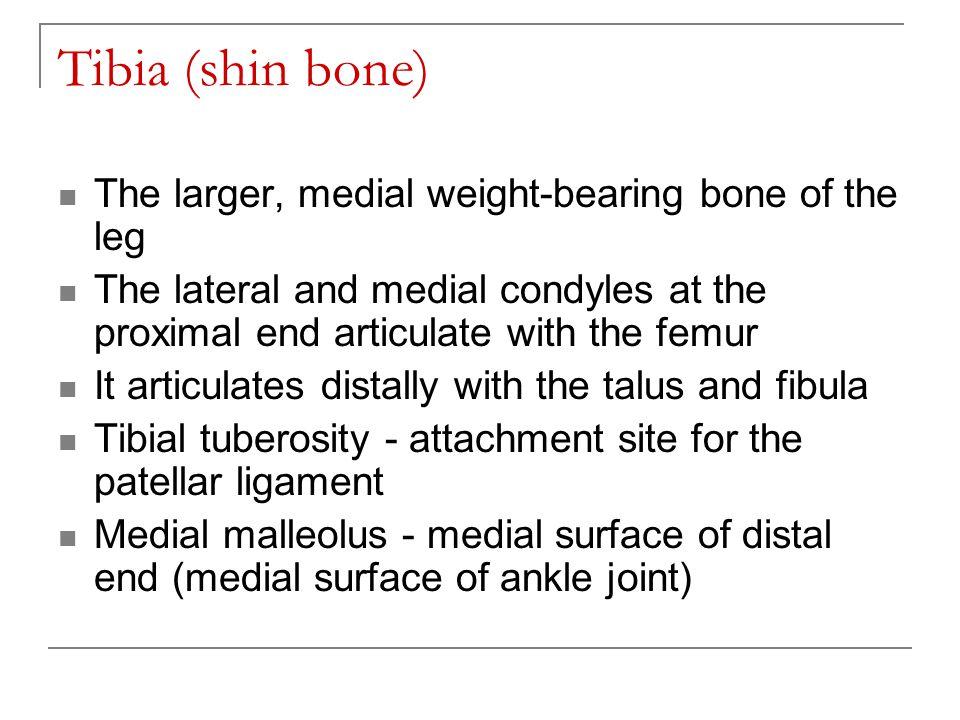 Tibia (shin bone) The larger, medial weight-bearing bone of the leg