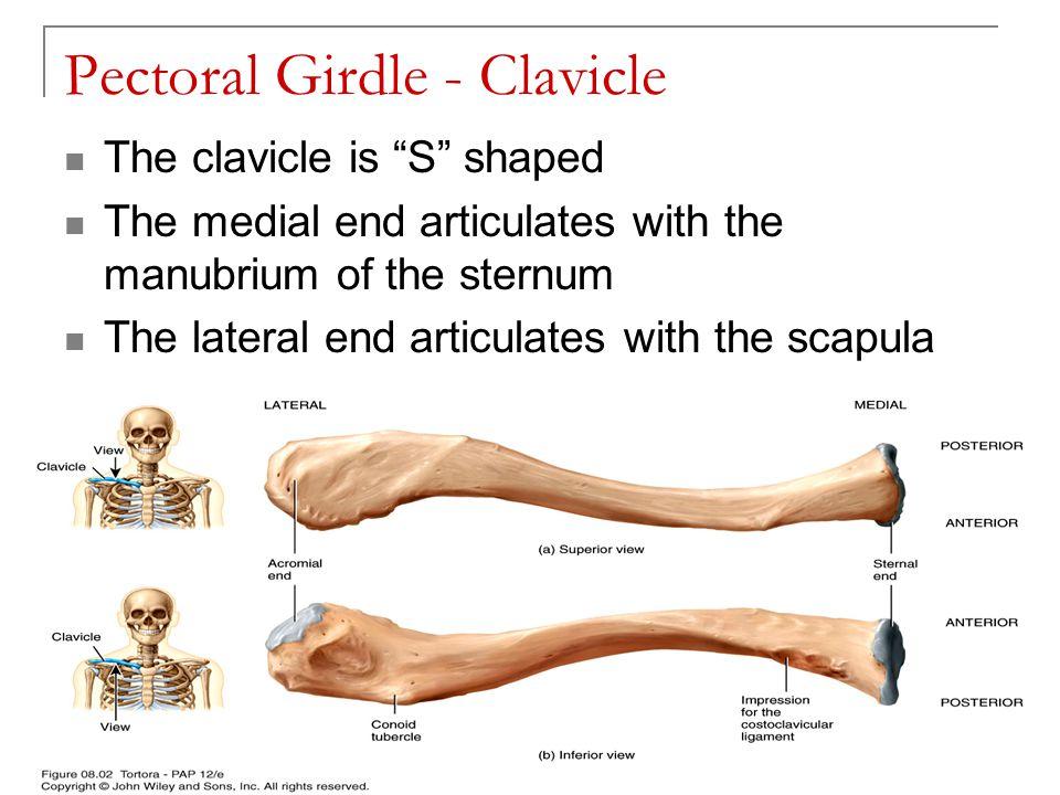 Pectoral Girdle - Clavicle
