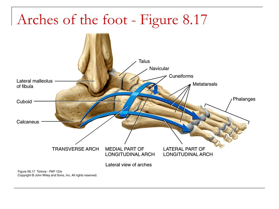 Arches of the foot - Figure 8.17