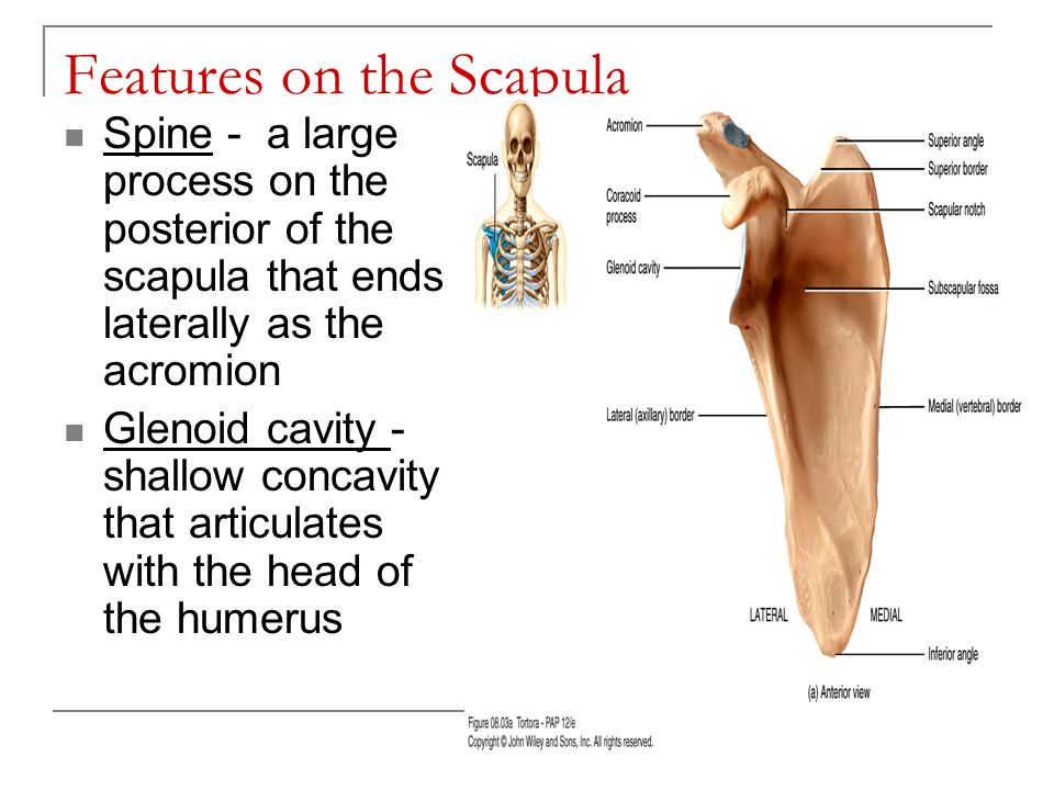 Features on the Scapula