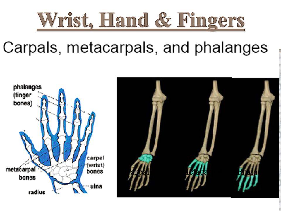 Wrist, Hand & Fingers Carpals Metacarpals Phalanges