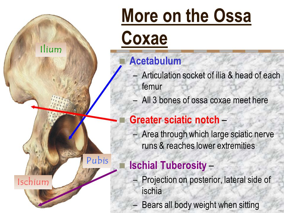 More on the Ossa Coxae Acetabulum Greater sciatic notch –