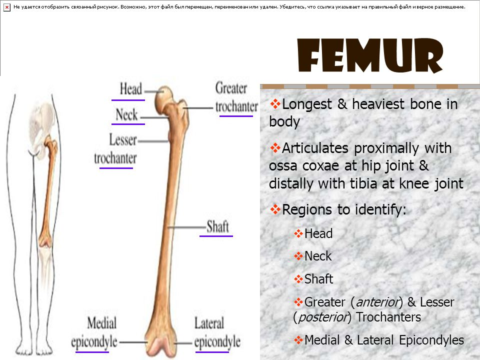 FEMUR Longest & heaviest bone in body
