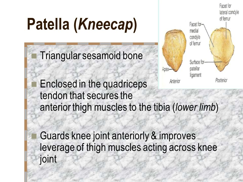 Patella (Kneecap) Triangular sesamoid bone