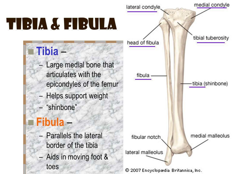 Tibia & Fibula Tibia – Fibula –
