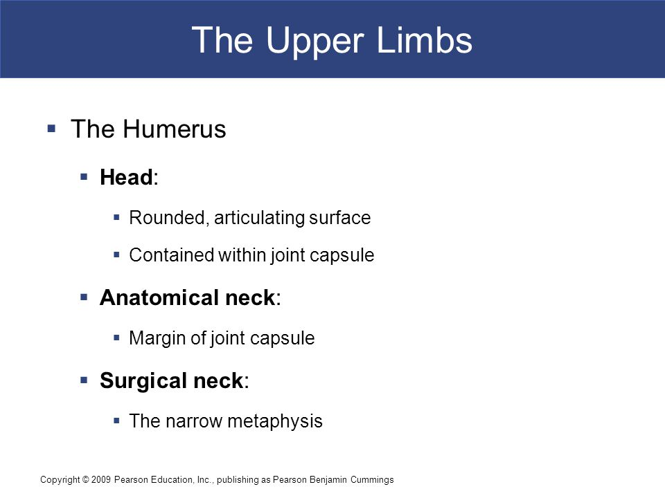 The Upper Limbs The Humerus Head: Anatomical neck: Surgical neck: