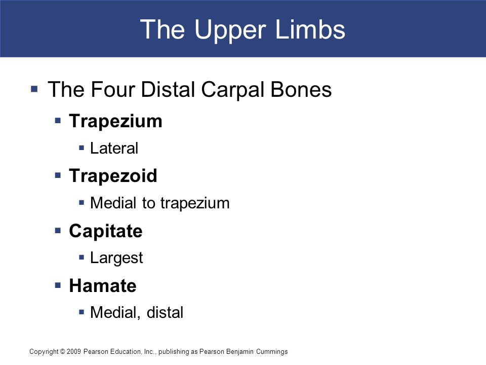 The Upper Limbs The Four Distal Carpal Bones Trapezium Trapezoid