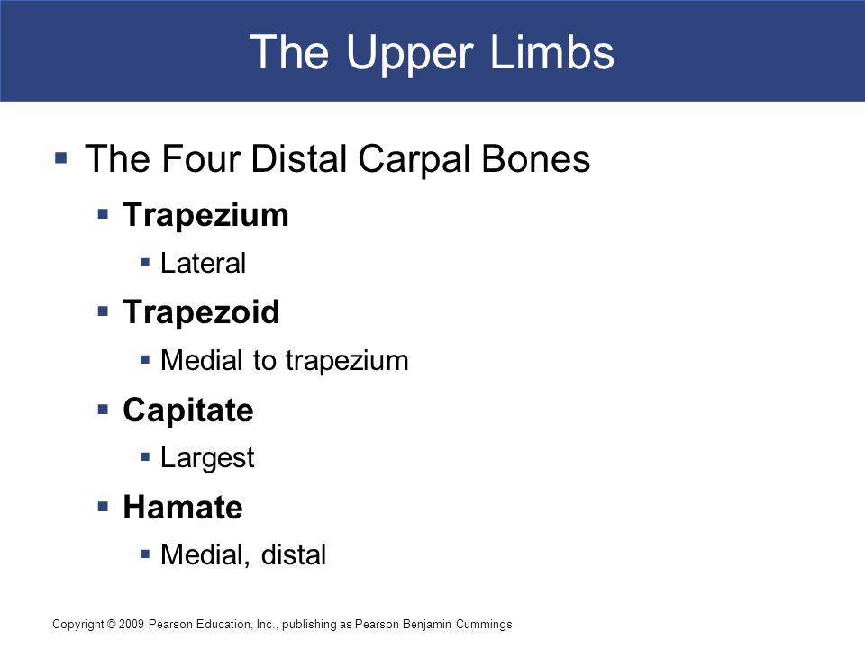 The Upper Limbs The Four Distal Carpal Bones Trapezium Trapezoid