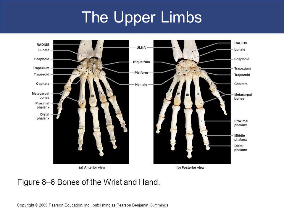 The Upper Limbs Figure 8–6 Bones of the Wrist and Hand.