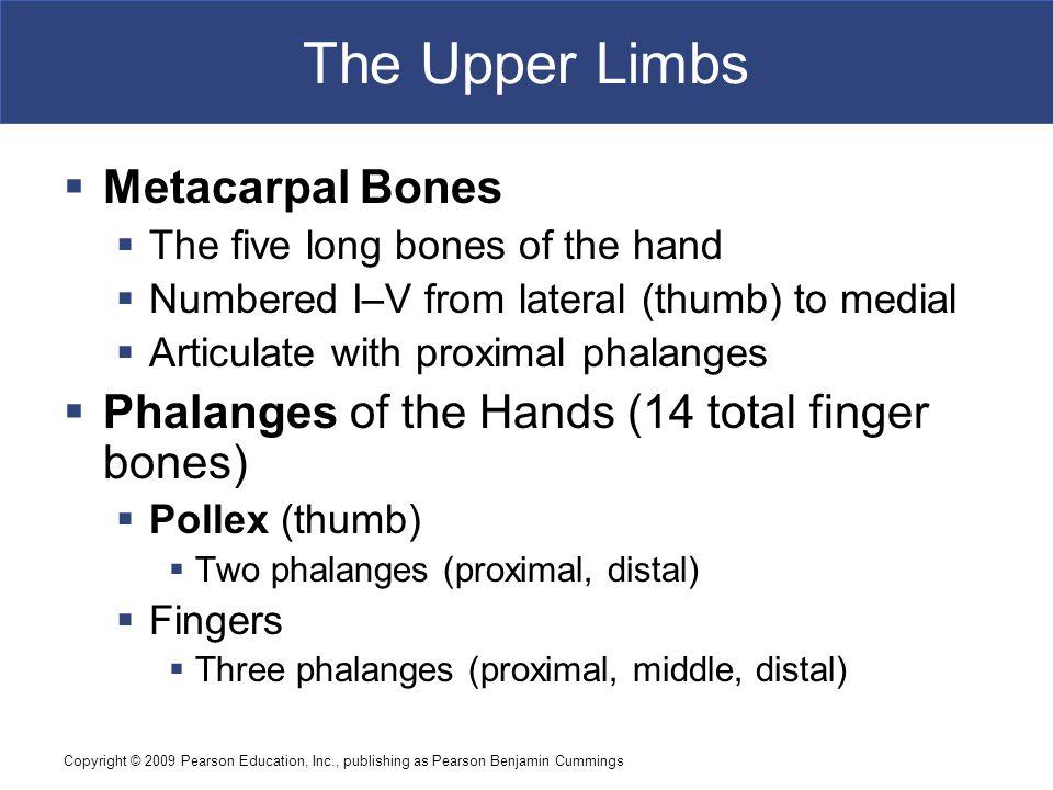 The Upper Limbs Metacarpal Bones