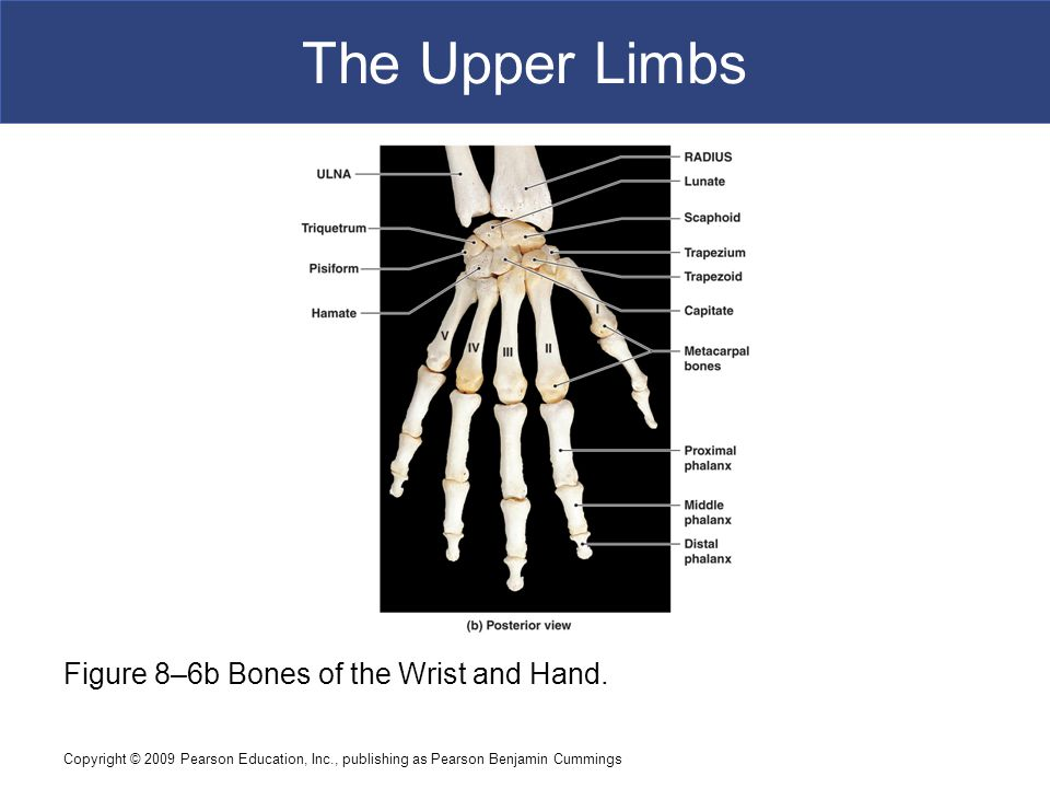 The Upper Limbs Figure 8–6b Bones of the Wrist and Hand.