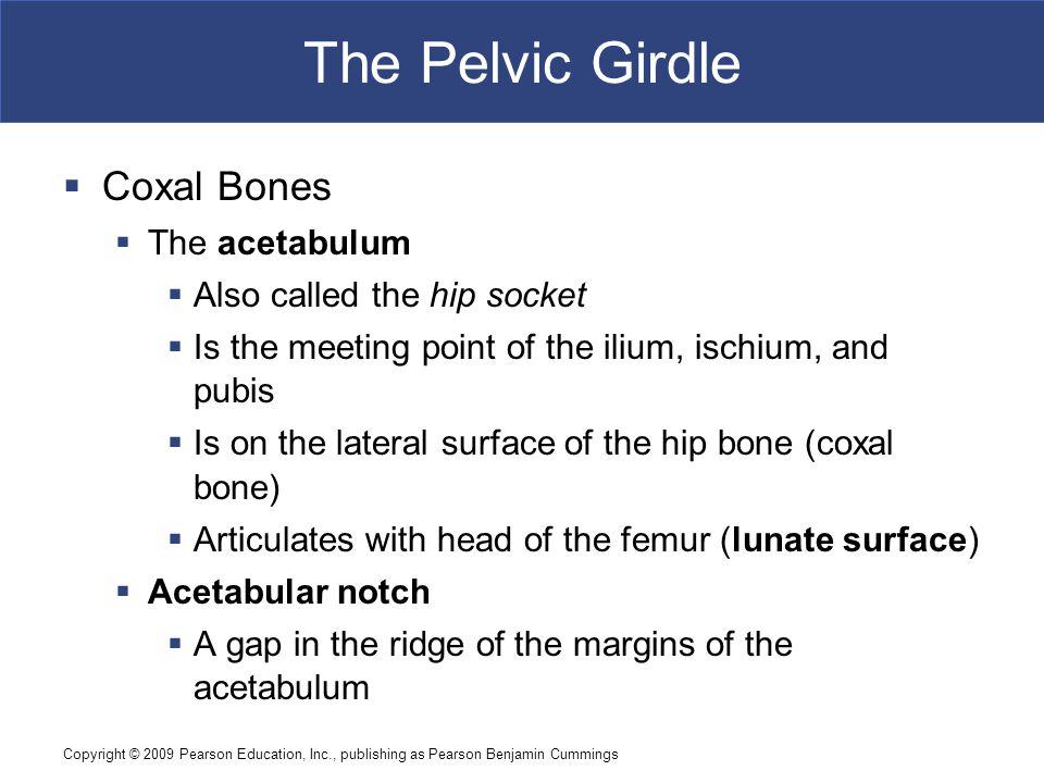 The Pelvic Girdle Coxal Bones The acetabulum