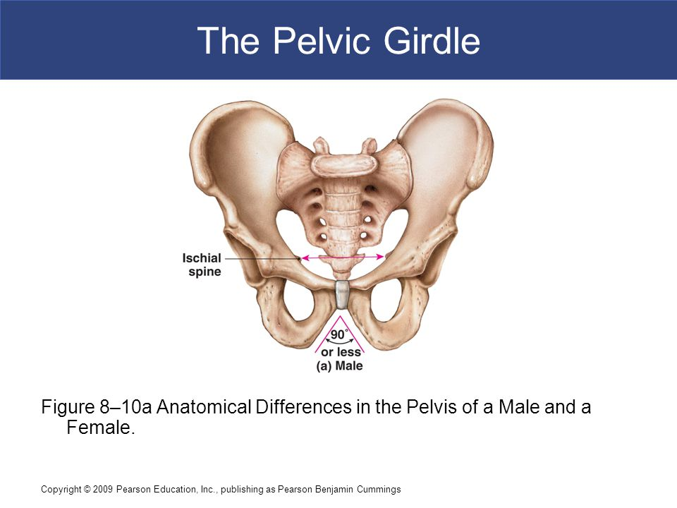 The Pelvic Girdle Figure 8–10a Anatomical Differences in the Pelvis of a Male and a Female.