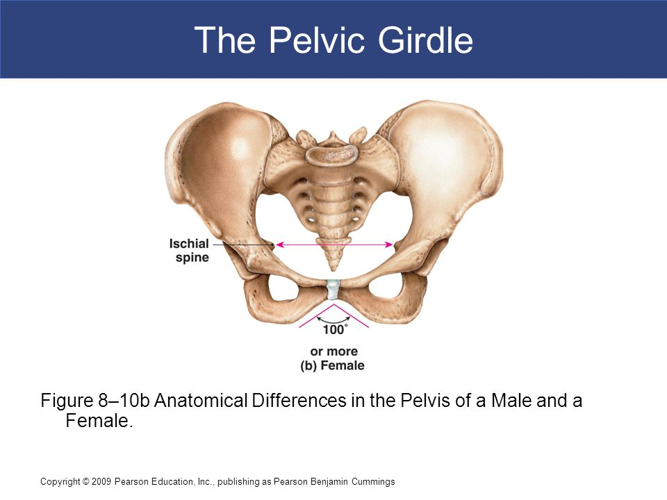 The Pelvic Girdle Figure 8–10b Anatomical Differences in the Pelvis of a Male and a Female.