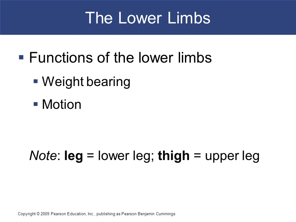 The Lower Limbs Functions of the lower limbs