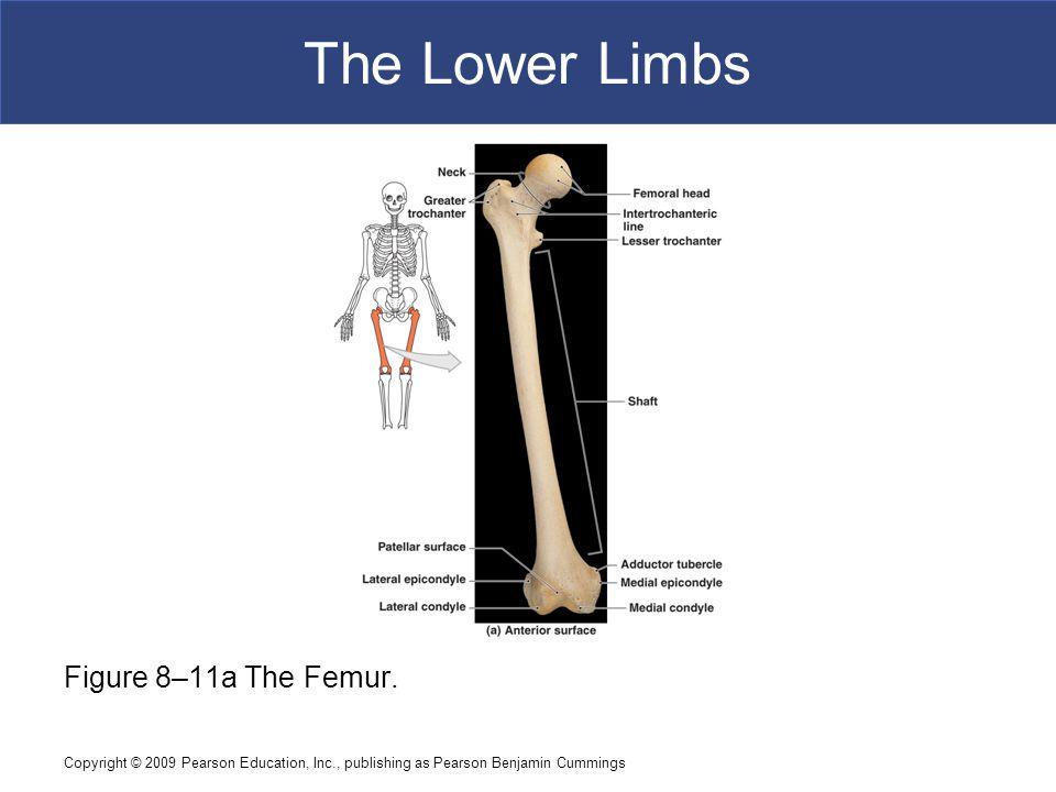The Lower Limbs Figure 8–11a The Femur.