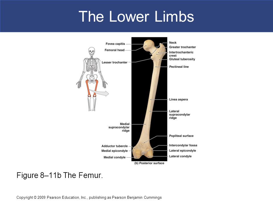 The Lower Limbs Figure 8–11b The Femur.
