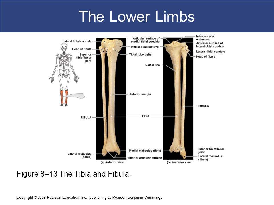 The Lower Limbs Figure 8–13 The Tibia and Fibula.