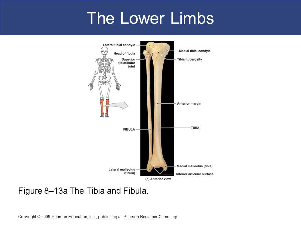 The Lower Limbs Figure 8–13a The Tibia and Fibula.