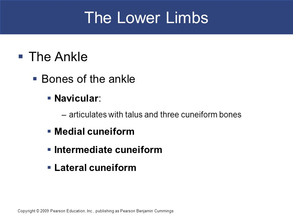 The Lower Limbs The Ankle Bones of the ankle Navicular: