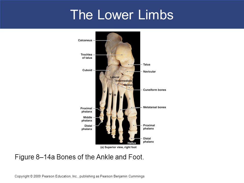 The Lower Limbs Figure 8–14a Bones of the Ankle and Foot.