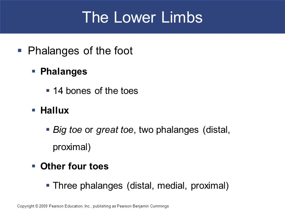 The Lower Limbs Phalanges of the foot Phalanges 14 bones of the toes