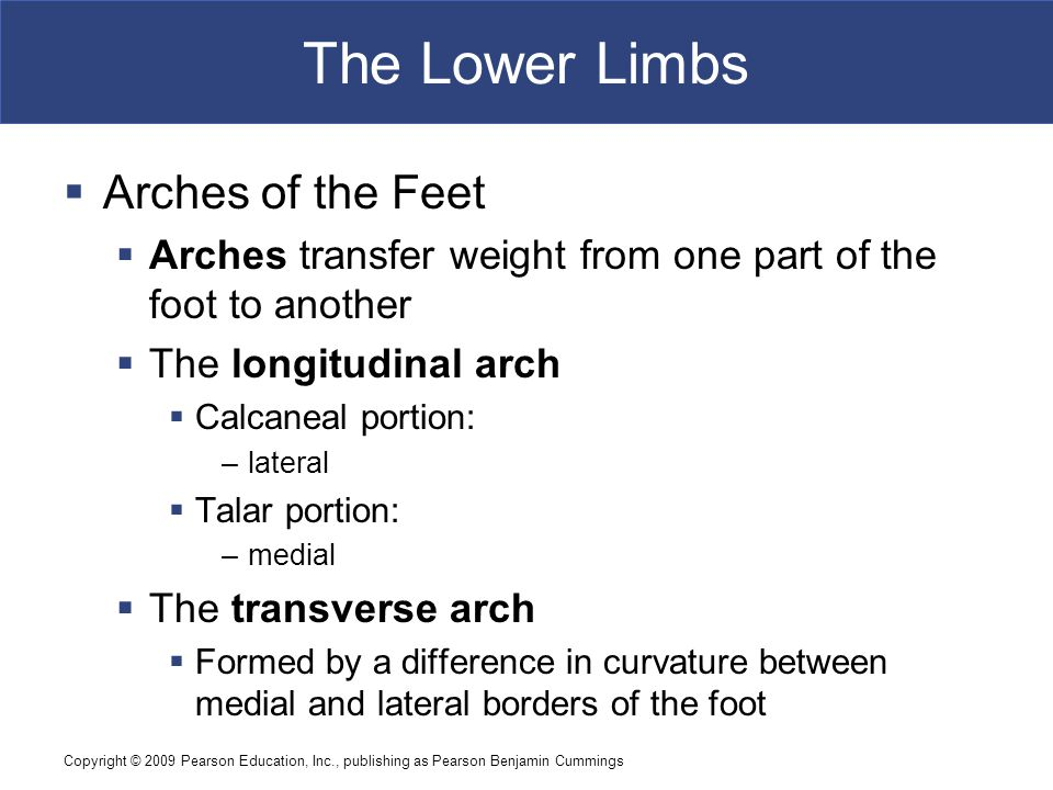 The Lower Limbs Arches of the Feet